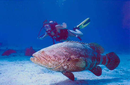 Dina with Goliath Grouper in the Florida Keys