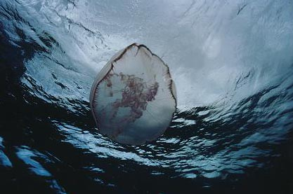 Moon Jellyfish Underwater Photograph