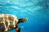 Sea Turtle in Key Largo, Florida Keys